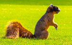 Brown Fox Squirrel