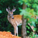 Whitetail deer - Hard Labor Creek State Park
