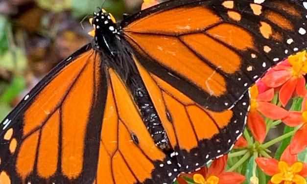 Researchers seek volunteers for monarch conservation efforts