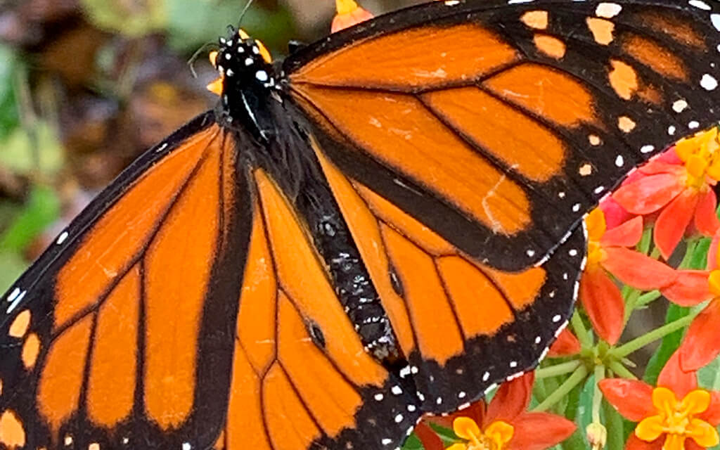Researchers seek volunteers for monarch conservation efforts