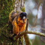 Brown Fox Squirrel on tree limb