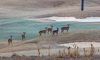 Deer on golf course near sunrise at Grand National