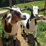 Two fainting goats named Ronnie and Reagan,