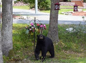 A black bear walking through a front yard