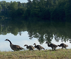 Canada Geese in a line on shore near lake