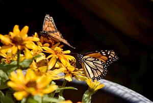 orange butterflies on yellow flowers